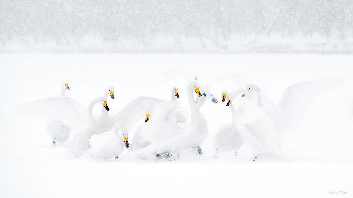 Énekes hattyúk, Hokkaidó, Japán